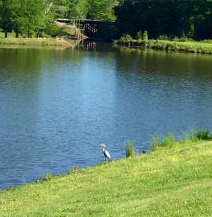 Heron behind our yard
