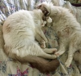 Remy and Reily the Ragdoll kittens
